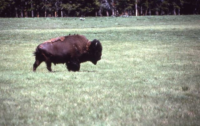 Bison with brown-headed cowbird on its back Picture