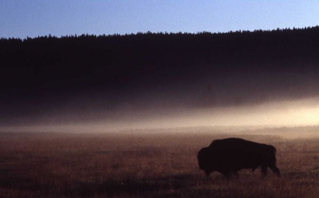 Silhouette of bull bison Picture