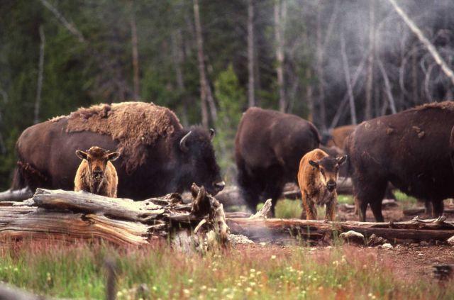 Bison cows & calves Picture