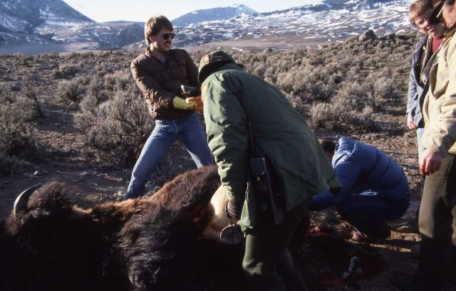 Gutting bison following hunt near Gardiner, Montana Picture