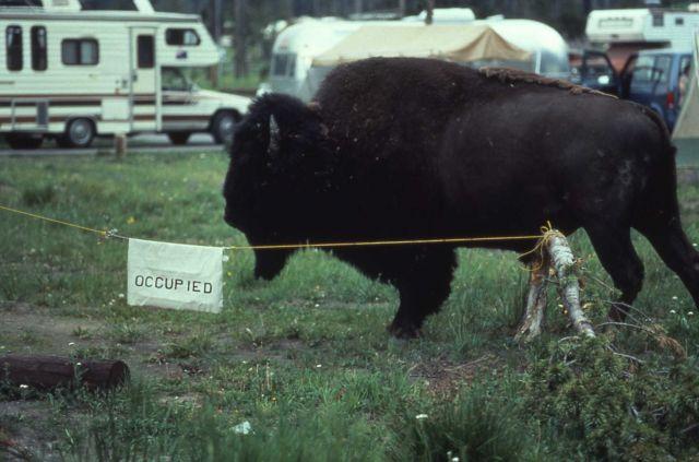 Bison walking thru occupied campground Picture