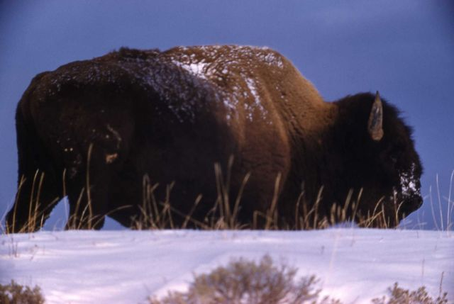 Bison in winter in Hayden Valley Picture