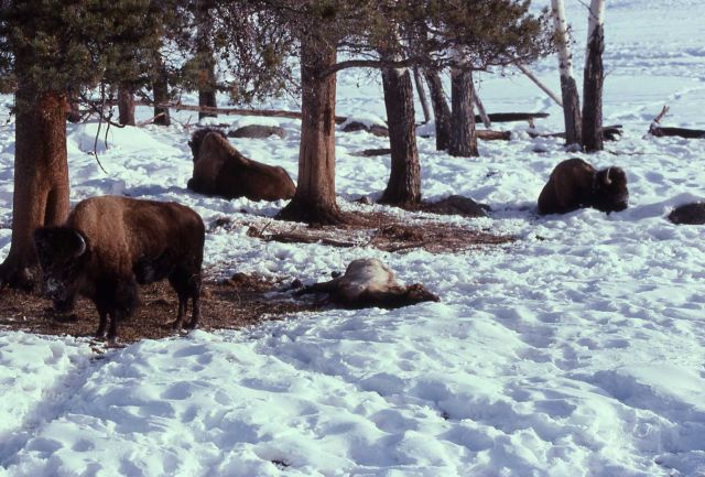 Bison in snow under trees with dead elk nearby Picture