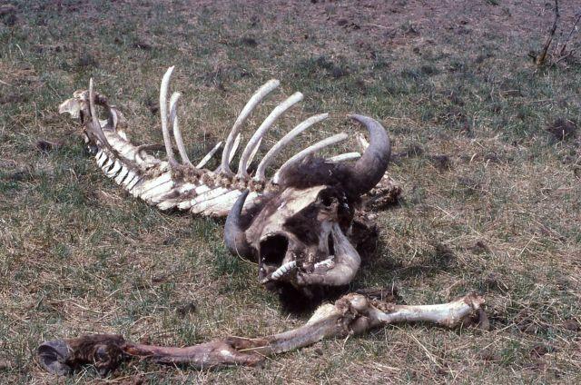 Bison bones, skull & horns intact Picture
