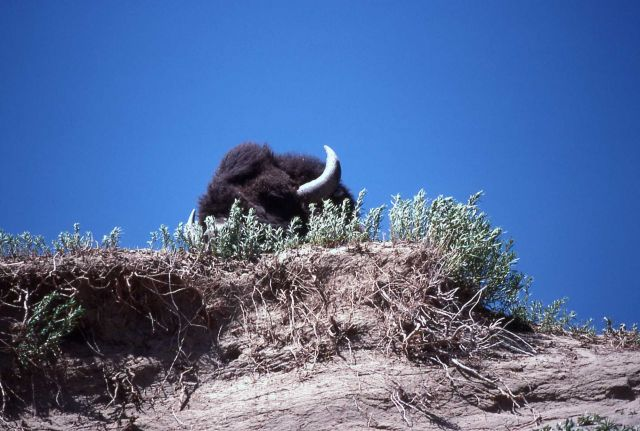 Bison head peaking over cliff Picture