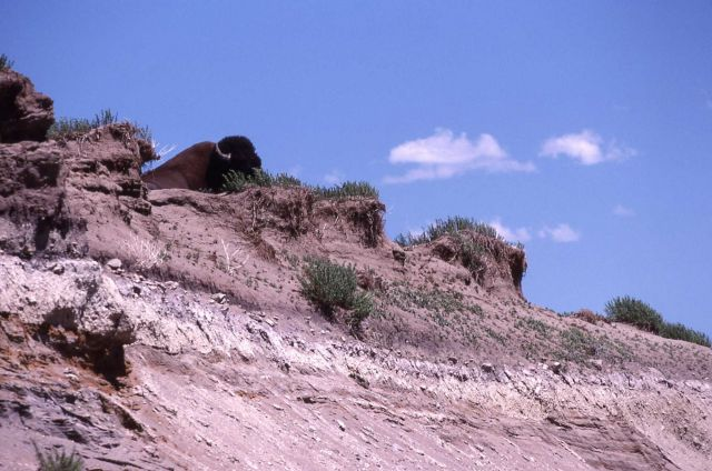 Bison laying on edge of cliff Picture
