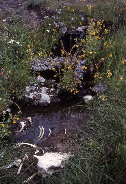Bison bones, skull by stream below falls, monkey flowers Picture