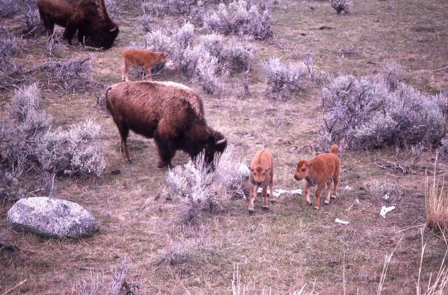 Bison cows & calves Picture