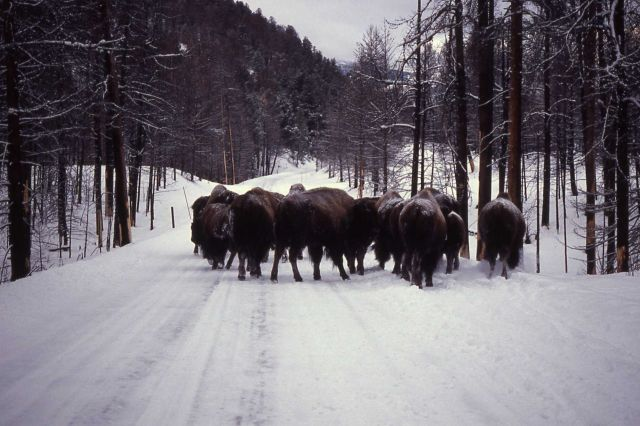 Bison herd using road in winter Picture