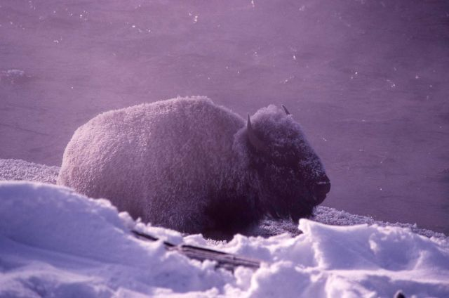 Frost covered bison laying down in winter Picture