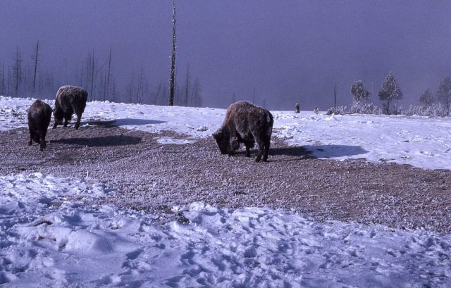 Bison grazing in winter Picture