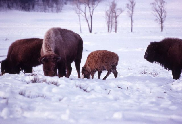 Red bison calf grazing in winter Picture