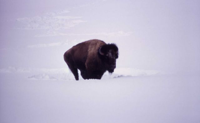 Bison in winter Picture
