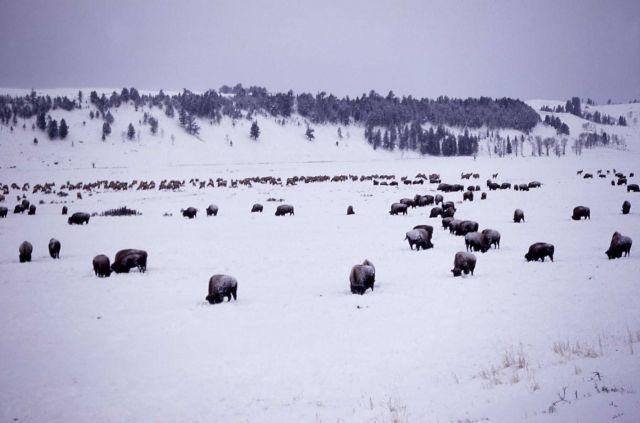 Bison & elk herds in winter in Lamar Valley Picture