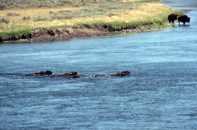 Bison swimming in Yellowstone River Picture