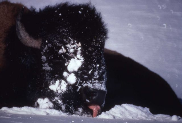 Bison licking snow Picture
