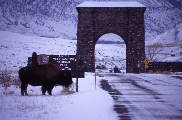 Bull bison near north entrance arch Picture