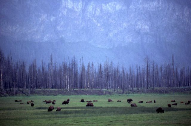 Bison grazing near Madison River Picture