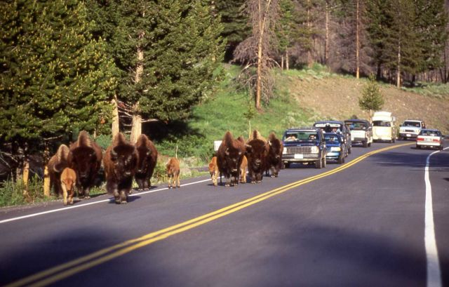 Bison & calves cause traffic jam on road Picture
