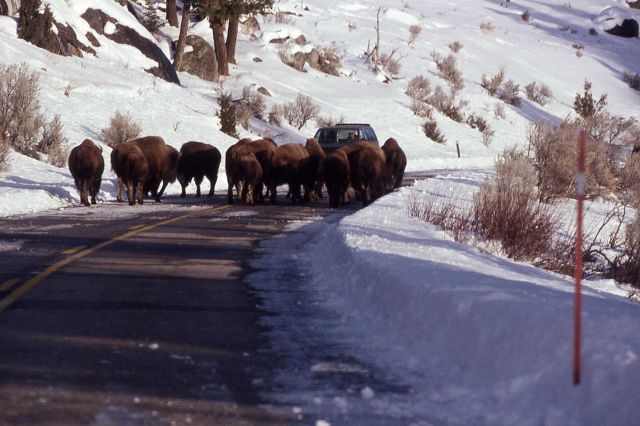 Bison on road in winter in Lamar Valley Picture