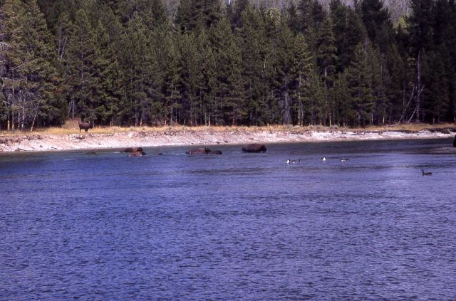 Bison & geese on Yellowstone River Picture