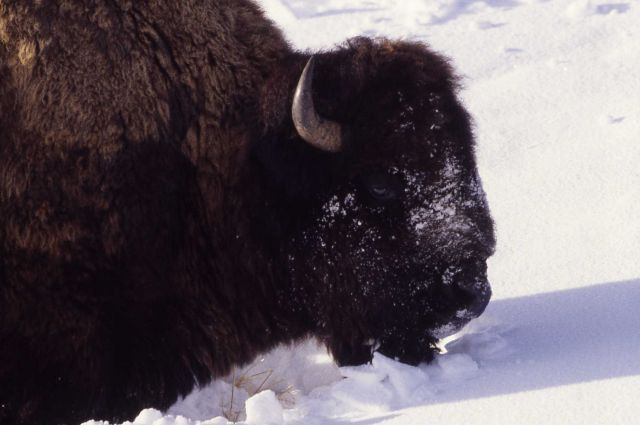 Bison pushing snow in Lamar Valley Picture