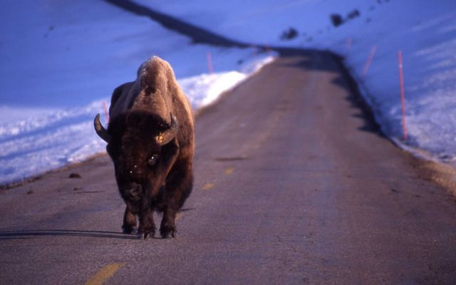 Bison on road in lamar Valley Picture