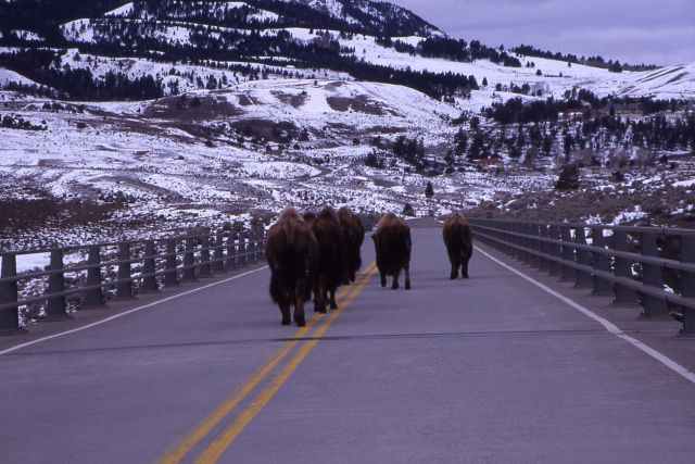 Bison on High Bridge near Mammoth Hot Springs Picture
