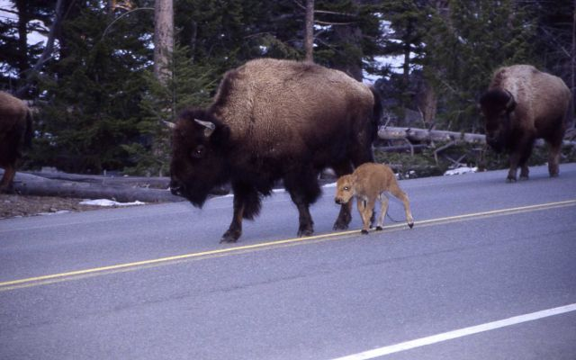 Bison & calf on east entrance road Picture