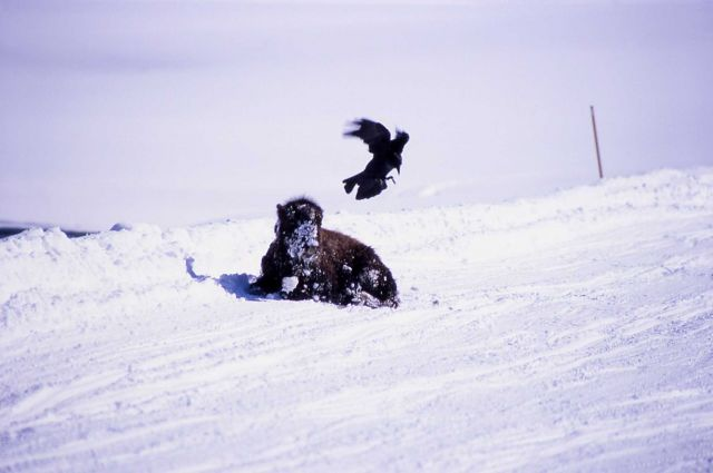 Bison & crow in winter in Hayden Valley Picture