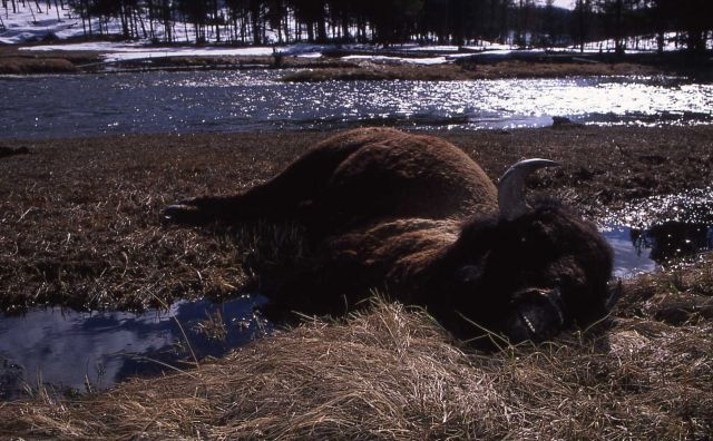 Dead bison near Gibbon River Picture