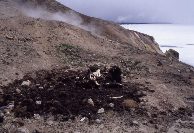 Bison carcass near Steamboat Point Picture