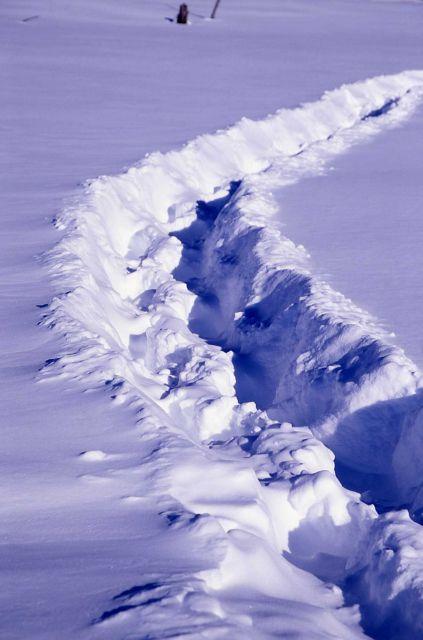 Bison path thru snow near Mary Bay Picture