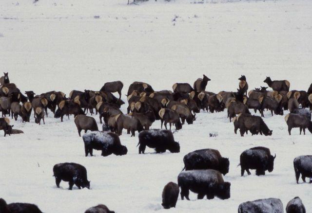 Bison & elk herd in Lamar Valley Picture