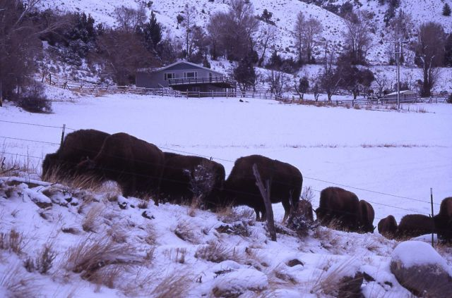 Bison in winter four miles north of Gardiner Picture