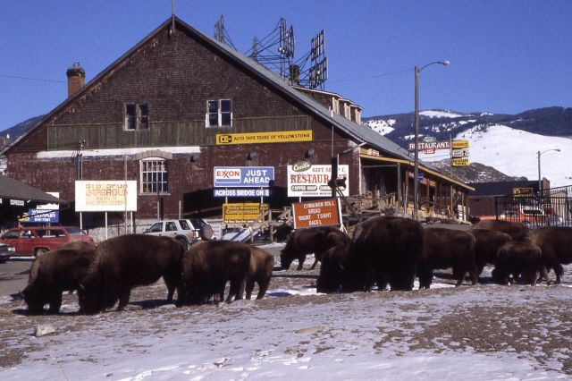 Bison by Cecil's restuarant in winter in Gardiner, Montana Picture