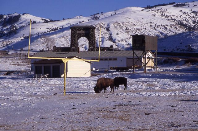 Bison on Gardiner football field in Gardiner, Montana Picture