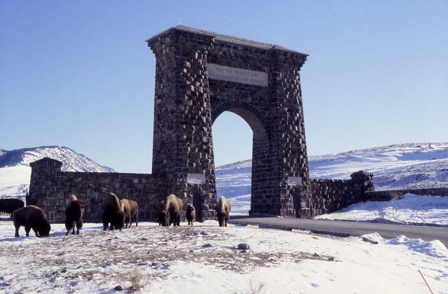 Bison at Roosevelt Arch in winter Picture