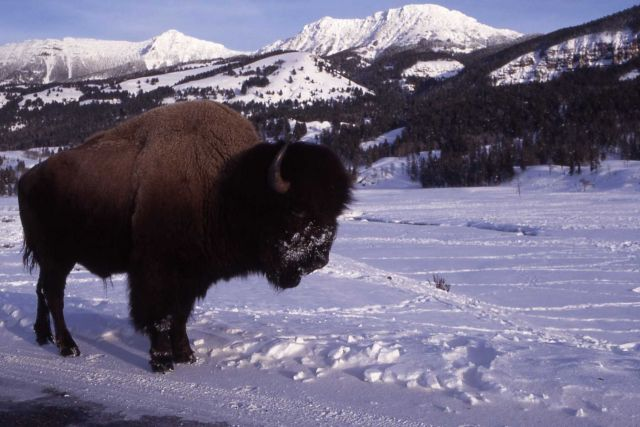 Bison at Soda Butte in winter, The Thunderer & Mt Norris in background Picture