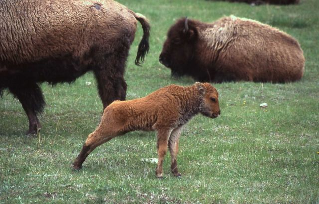 Bison with calf near Madison Junction Picture