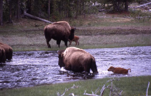 Bison cows & calves crossing Nez Perce Creek Picture