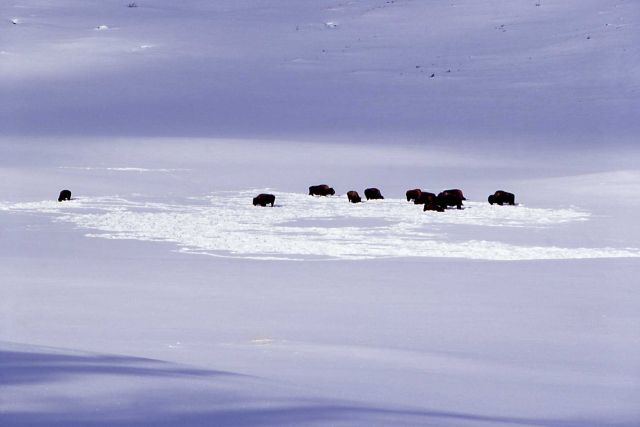 Bison in winter at Blacktail Picture