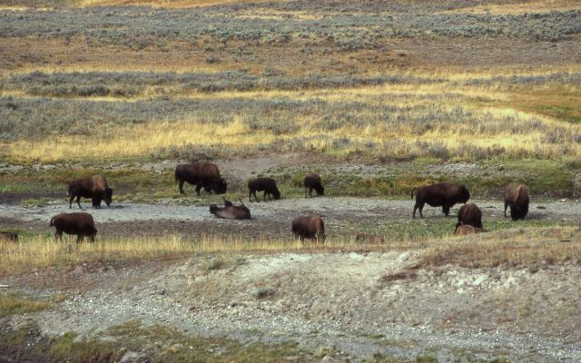Bison wallowing at Trout Creek Picture