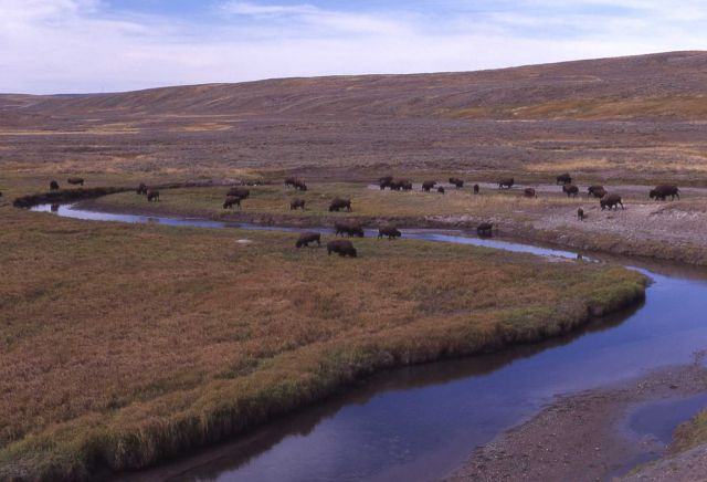 Bison herd at Trout Creek Picture