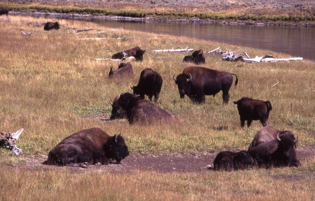 Bison herd in Hayden Valley Picture