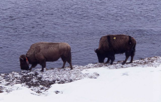 Bison along Madison River Picture