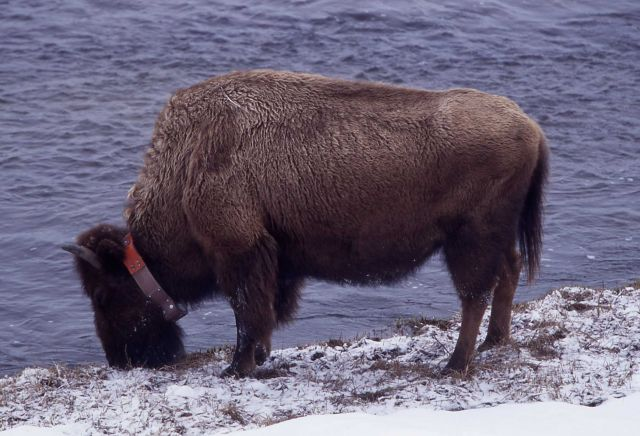 Collared bison along Madison River Picture