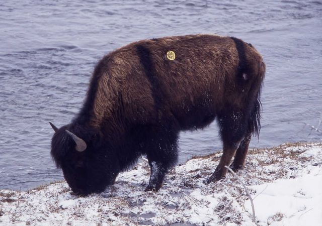 Bison at Madison River Picture