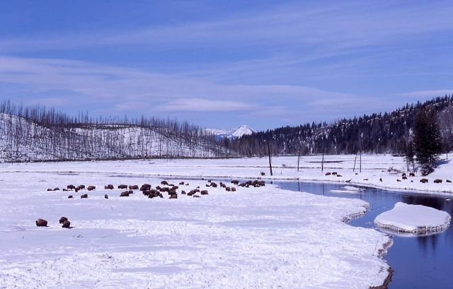 Bison in winter beside Madison River Picture