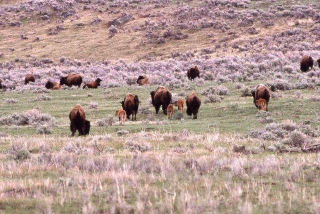 Bison with calves in Lamar Valley Picture